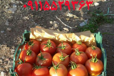 فروش ویژه گوجه گلخانه ای و فضای باز