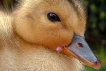 – فروش جوجه اردک در سنین مختلف