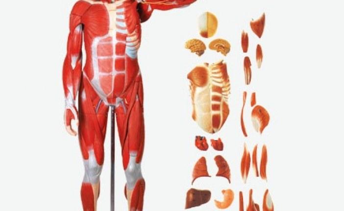 مولاژ عضلات انسان