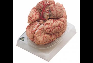 مولاژ مغز انسان
