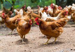 فروش مرغ بومی 1 ماهه