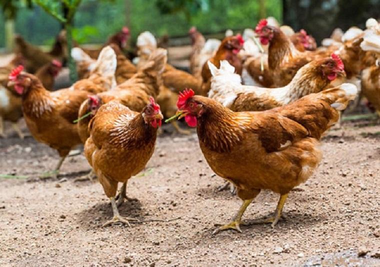فروش مرغ بومی ۱ ماهه