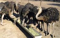 فروش انواع شتر مرغ