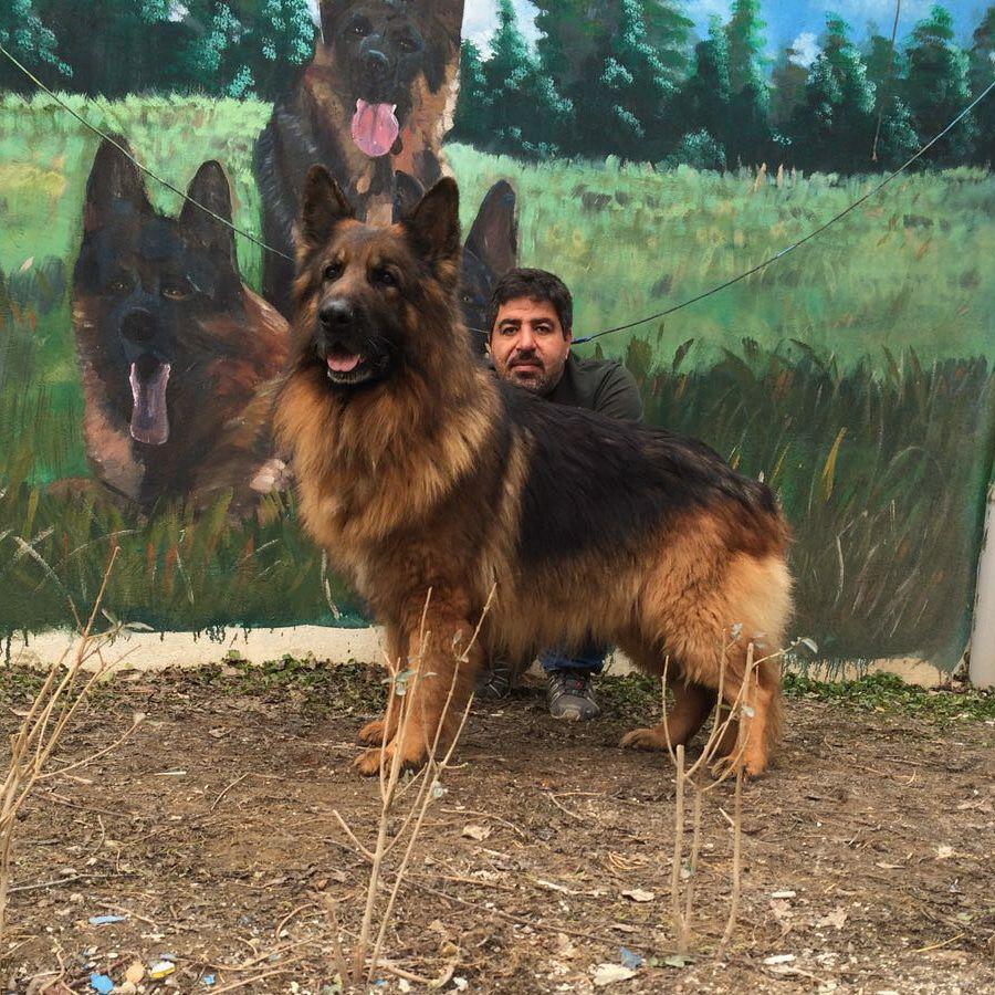 سگ های ژرمن مو بلند نگهبان