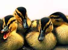 اردک پرورش اردک