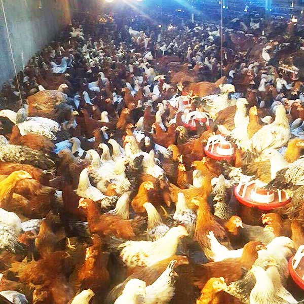 فروش عمده و جزئی مرغ بومی تخم گذار و گوشتی