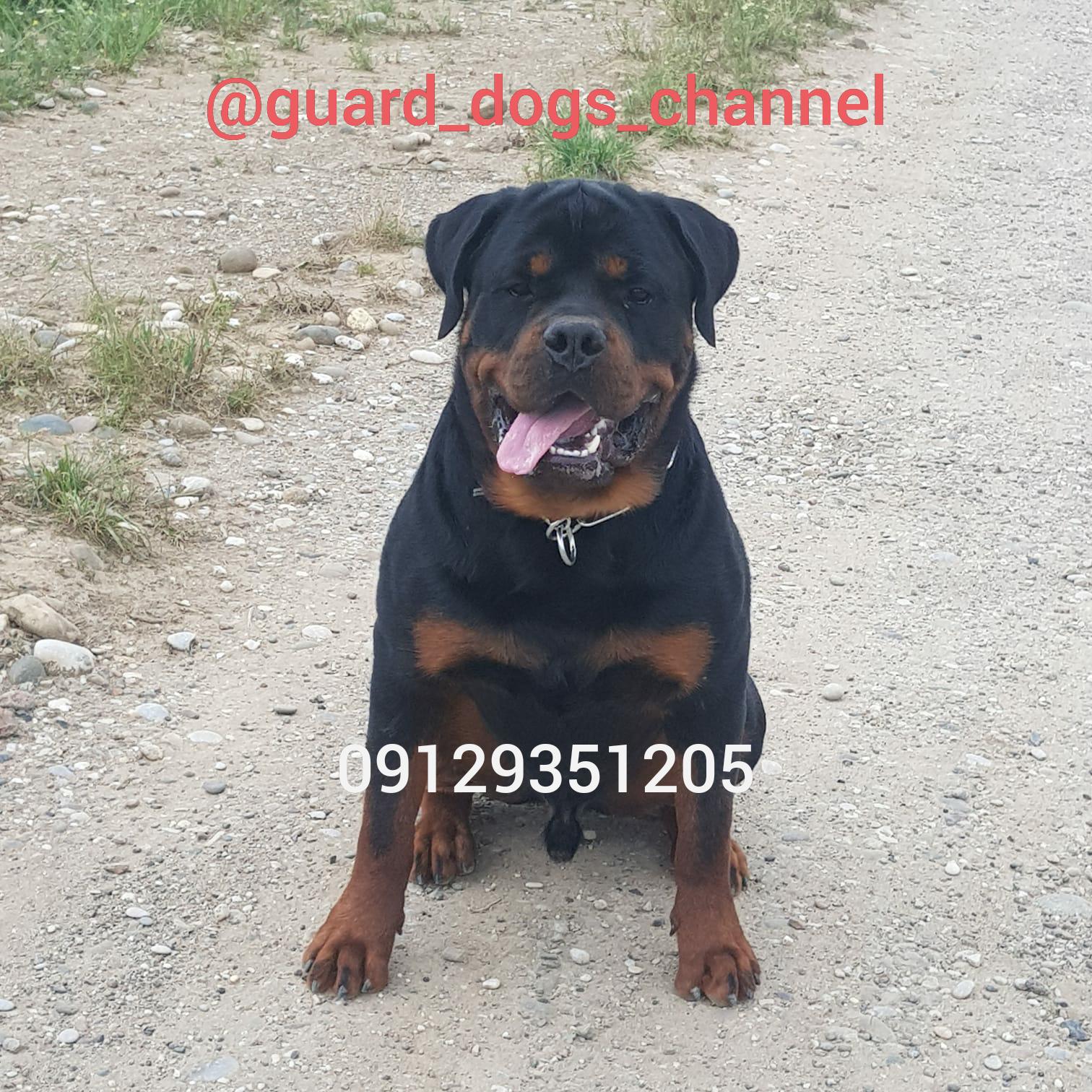 سگ روتوایلر درشت و هیکلی با ضمانت نگهبانی