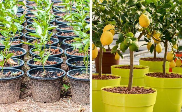 فروش تضمینی انواع نهال میوه مستقیم از بزرگترین نهالستان کشور