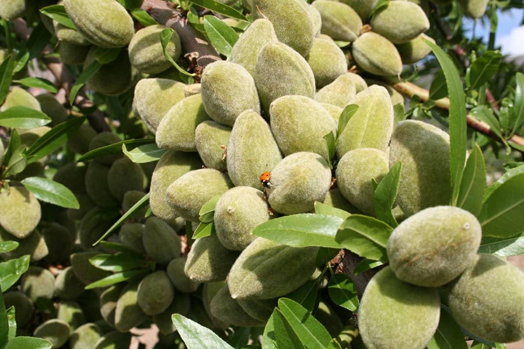 فروش عمده انواع نهال میوه از بزرگترین نهالستان کشور